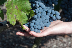 Grapes harvest Hands inspecting the black ripe grape harvest Royalty Free Stock Photos