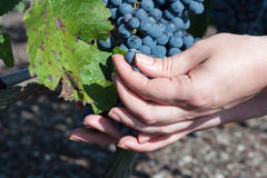 Grapes harvest Hands inspecting the black ripe grape harvest Royalty Free Stock Images
