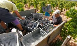 Grapes harvest season at countryside fields in mallorca. Peasant load on a truck the boxed harvested grapes during grape harvesting season in the Balearic Royalty Free Stock Photography