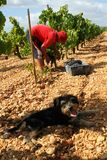 Grapes harvest season and shepherd dog at countryside fields in mallorca. Peasant harvest grapes during grape harvesting season in the Balearic Spanish island of stock images