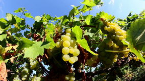Grapes Before Harvest stock footage