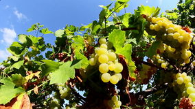 Grapes Before Harvest stock video footage