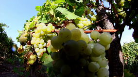 Grapes Before Harvest stock video