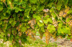 grapes before the harvest Royalty Free Stock Photo
