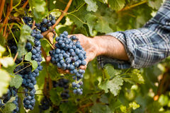 Grapes harvest in vineyard Royalty Free Stock Photos