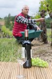 Grapes harvest winemaker in vineyard. Old royalty free stock images