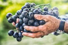 Grapes harvesting. Black or blue bunch grapes in hand old senior farmer.  stock photos