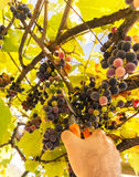 Grapes harvesting Stock Image