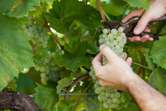 Grapes harvesting Royalty Free Stock Photography
