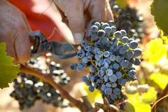 Grapes Harvesting Royalty Free Stock Image