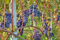 Grapes before harvesting. Piedmont, Italy. Stock Photo