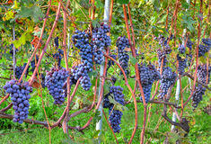 Grapes before harvesting. Piedmont, Italy. Royalty Free Stock Photos
