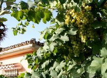 Grapes and house. In the sun Royalty Free Stock Images