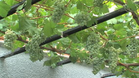 Grapes in the house-museum of Vanga in Petrich in Bulgaria. Temple of Saint Petka built Vanga stock video
