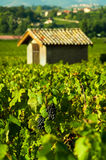 Grapes and hut, Beaujolais, France Stock Images