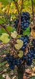 Grapes II stock image