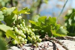 Grapes on Ikaria, Greece stock photo