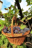 Grapes In A Basket Stock Photos