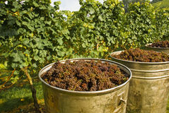 Grapes In Containers Royalty Free Stock Image