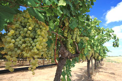 Grapes In Wine Yard Royalty Free Stock Image