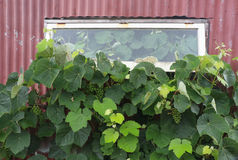Grapes Inside & Out. Great garden grape vine growing insde and outside too Royalty Free Stock Photo