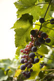 Grapes (isolated) Stock Images