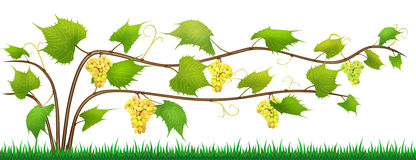 Grapes isolated bush with berries Stock Image