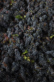 Grapes italian fields wine Stock Photography