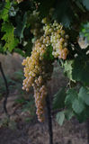 Grapes italian fields wine Royalty Free Stock Image