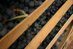Grapes italian fields wine Royalty Free Stock Images