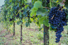 Grapes in italian vineyard Stock Photos