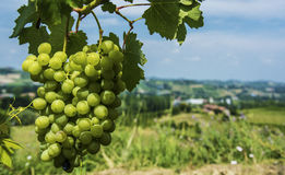 Grapes in Italian Vineyard. With view of fields in the background Royalty Free Stock Images