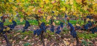 Grapes IV Royalty Free Stock Photo