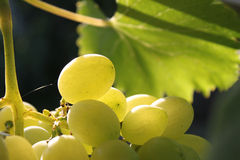 Grapes. Juicy bunch of grapes with leaf Stock Images