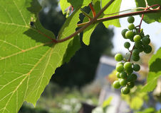 Grapes kept pace. Keep pace with grapes in Siberia Royalty Free Stock Image