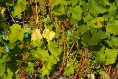 Grapes kept pace. Keep pace with grapes in Siberia Royalty Free Stock Photography