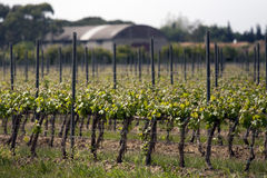 Grapes landscape Royalty Free Stock Photography