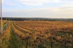 Grapes landscape Stock Image