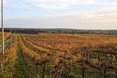 Grapes landscape Royalty Free Stock Images