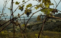 Grapes and landscape in Valpolicella. Close up of grapes with landscape of hills in Valpolicella royalty free stock image