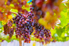 Grapes. Large bunch of grapes in vineyard Royalty Free Stock Image