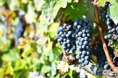 Grapes in Lavaux, Switzerland Stock Image