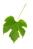 Grapes Leaf Royalty Free Stock Photos
