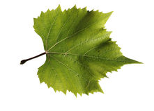 Grapes leaf Stock Image