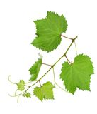 Grapes leaf Royalty Free Stock Image