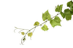 Grapes leaf Stock Images