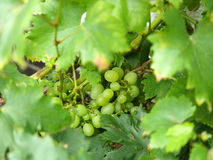 Grapes and leaf Stock Image