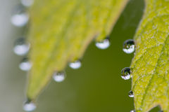 Grapes leaf with morning dew water bubbles Royalty Free Stock Photography