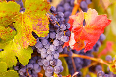 Grapes and leafs Royalty Free Stock Photo