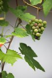 Grapes and leafs. Green grapes a front of the wine house Royalty Free Stock Images